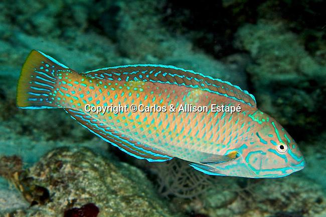Halichoeres radiatus, Puddingwife, Florida Keys
