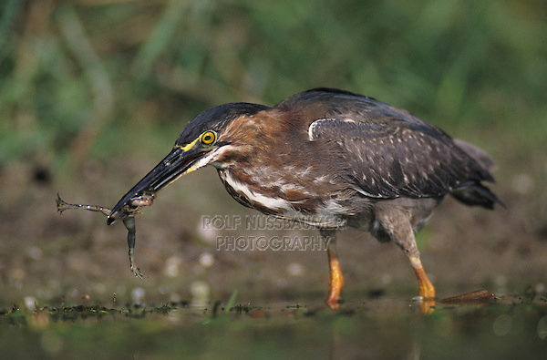 Green Heron, Butorides virescens,immature eating Leopard Frog, Lake Corpus Christi, Texas, USA, May 2003