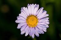 (Erigeron peregrinus)  Many common names: Mountain Daisy, Wandering Daisy, Peregrine Fleabane, Subalpine Daisy, Subalpine Fleabane.  Subalpine meadows near Mount Rainier National Park, WA.  Summer.