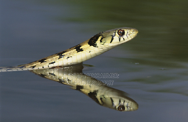 Checkered Garter Snake, Thamnophis marcianus marcianus, adult swimming, Willacy County, Rio Grande Valley, Texas, USA, May 2004