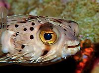 balloonfish or porcupinefish, Diodon holocanthus, gulf of mexico, flower garden, off Texas.