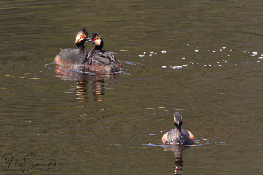 "The Eared Grebe (Podiceps californicus) sexes are virtually identical, but here there are two males vying for the attention of one female.  It appears one has been selected and the other sent ""packing""."