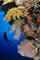 qe0968-D. scuba diver (model released) swims along colorful reef wall with soft corals (Chironephthya sp.) and sea fans (Semperina sp.). Fiji, tropical Pacific Ocean. Photo Copyright © Brandon Cole. All rights reserved worldwide.  www.brandoncole.com..This photo is NOT free. It is NOT in the public domain. This photo is a Copyrighted Work, registered with the US Copyright Office. .Rights to reproduction of photograph granted only upon payment in full of agreed upon licensing fee. Any use of this photo prior to such payment is an infringement of copyright and punishable by fines up to  $150,000 USD...Brandon Cole.MARINE PHOTOGRAPHY.http://www.brandoncole.com.email: brandoncole@msn.com.4917 N. Boeing Rd..Spokane Valley, WA  99206  USA.tel: 509-535-3489