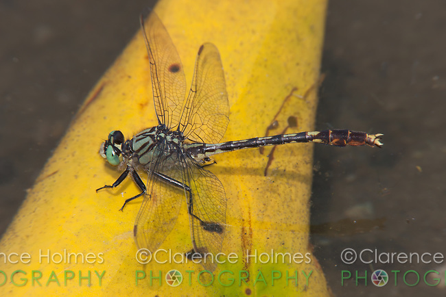 Unicorn Clubtail (Arigomphus villosipes) Dragonfly, Rockefeller State Park Preserve, Potanico Hills, Westchester County, New York
