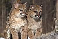 Young Cougars (Puma concolor) sitting on a snag.  Winter.   Minnesota.
