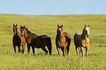 A herd of bay grazing horses in a lust rolling field in the Sierra Nevada Foothills of California.