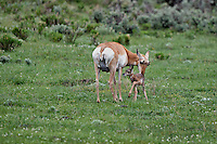 A newborn Pronghorn seeks nourishment from mama with  wobbly legs.  Lamar Valley.