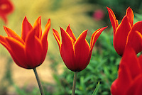 Lily flowered tulip bulb 'Queen of Sheba' in garden setting