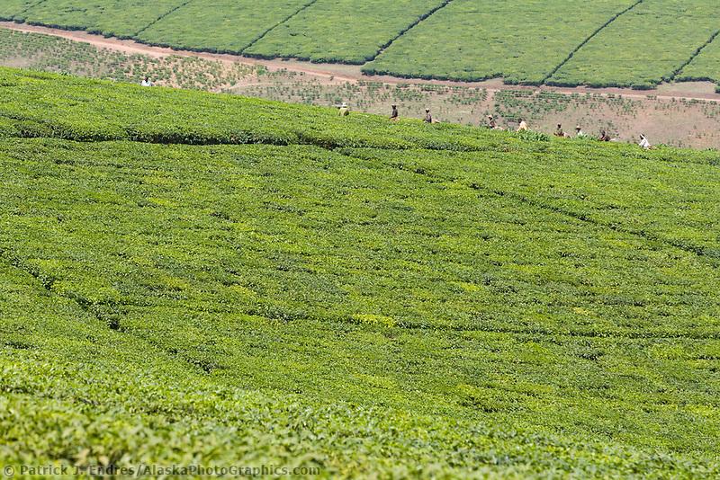 Tea farming, Uganda, East Africa