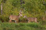 Young and old white-tailed buck