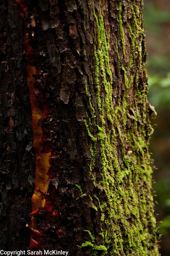 A light layer of green moss grows on the rough bark of a tree near Lake Sonoma near Healdsburg in Sonoma County in Northern California.