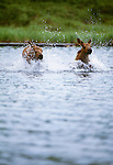 Moose calves running in water, Denali National Park, Alaska