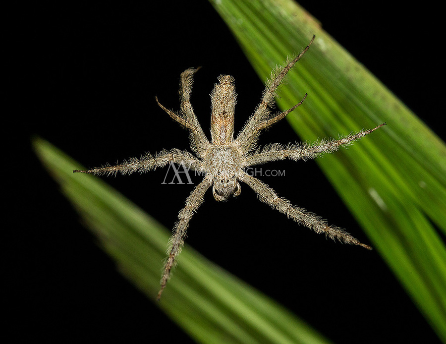 One can find numerous spiders during night walks.  If anyone has a species ID, I'd appreciate it.