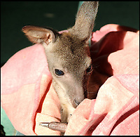 BNPS.co.uk (01202 558833)<br /> Pic: IanTurner/BNPS<br /> <br /> Full of the joys of Spring - This lucky baby wallaby at the Longleat Safari Park is celebrating the much delayed arrival of spring sunshine after being rescued from certain death when abandoned by his mother.<br /> <br /> Keeper Gemma Short has had to step in and carry him around in a substitute pouch made from a rucksack - but now spring is finally on the way he should be able to hop around on his own more frequently.