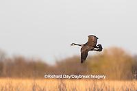 00748-05807 Canada Goose (Branta canadensis) in flight, Marion County, IL