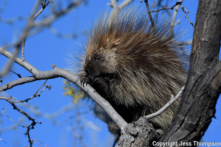 Porcupine, San Angelo State Park, Texas