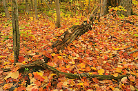 Leaves and old tree trunk on forest floor <br /> Baysville<br /> Ontario<br /> Canada