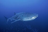 A Whale Shark, Rhincodon typus, cruises above schooling fusiliers. Whale Sharks are harmless filter-feeders; growing to lengths of 40 ft. or more, they are the largest of all fish. Richelieu Rock, Andaman Sea, Thailand.