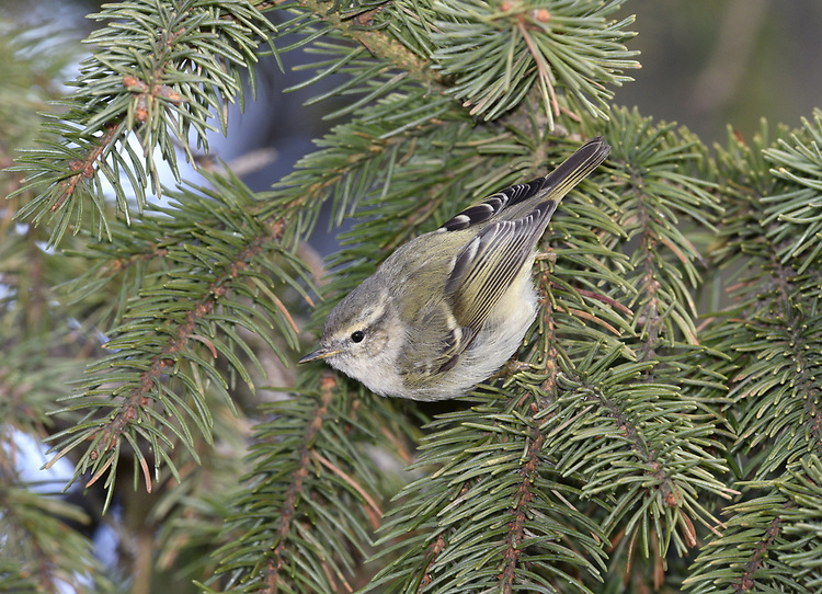 Hume's Leaf-warbler - Phylloscopus humei