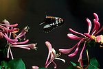 White Admiral Butterfly, Ladoga camilla, in free flight, flying over honesuckle, high speed photographic technique.United Kingdom....