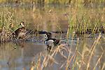 Breeding pair of ring-necked ducks