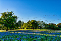 Bluebonnets and Pelicans as this flock flew over this field of bluebonnets.  Yes, that what we captured as this large flock of bird flew over this field of bluebonnets in the Texas Hill Country.  We were not sure at the time what they were because they were quite large after looking at the image it was a large flock of pelicans going the wrong way to the coast.   Not something you see every day in the hill country but we were near the lake. Maybe they were out checking out the wildflowers too taking the scenic route.