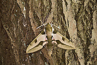Mittelmeer-Wolfsmilchschwärmer, Riesen-Wolfsmilchschwärmer, Hyles nicaea, Mediterranean Hawk-moth, Greater Spurge hawkmoth, Le Sphinx Nicéa, Schwärmer, Sphingidae, hawkmoths, hawk moths, sphinx moths, sphinx moth, hawk-moths, hawkmoth
