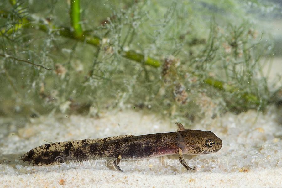 Feuersalamander, Feuer-Salamander, Larve unter Wasser mit Außenkiemen, Kaulquappe, Salamander, Salamandra salamandra, European fire salamander, larva, larvae