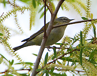 Tennessee warbler in breeding plumage