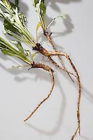 Gewöhnliche Nachtkerze, Wurzel, Wurzeln, Wurzelstock, Pfahlwurzel, Oenothera biennis, Common Evening Primrose, Evening-Primrose, Evening star,  Sun drop, Root, roots, root-stock, taproot, Onagre
