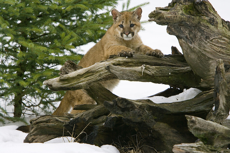 Puma kitten leaning up against an old tree stump - CA