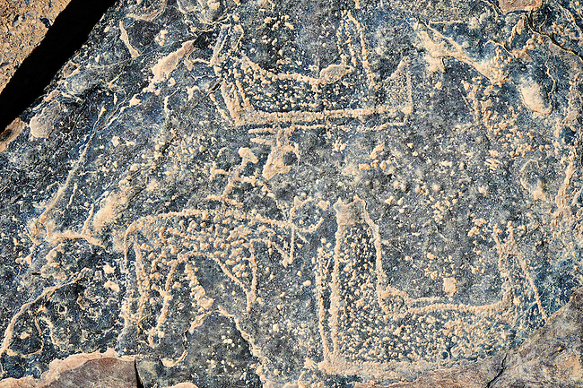 Prehistoric Saharan petroglyph rock art carvings of cattle with small figures riding on their backs from a site 20km east of Taouz, South Eastern Morocco