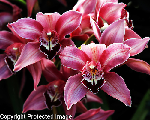 Asian Corsage Orchid<br /> Cymbidium<br /> Via El Diablo 'Ruby Red'<br /> Orchidaceae<br /> Cymbidium species are the most widely known of all orchids and most popular orchids grown.  The species itself is not widely cultivated, but Cymbidium hybrids lend themselves most easily to cultivation.  They make excellent potted plants and cut flowers for many decorative uses.  The Cymbidium orchid is a very showy plant, making it very popular at orchid shows and may as many as 20-30 blooms or more on a single spike.