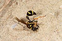 Pillenwespe, Nestbau, Nest aus Lehm, Brutzelle, Eumenes pedunculatus, Potter wasp, Pillenwespen, Lehmwespen, Töpferwespen, Töpferwespe, Solitäre Faltenwespen, Eumenidae, Potter wasps, mason wasps