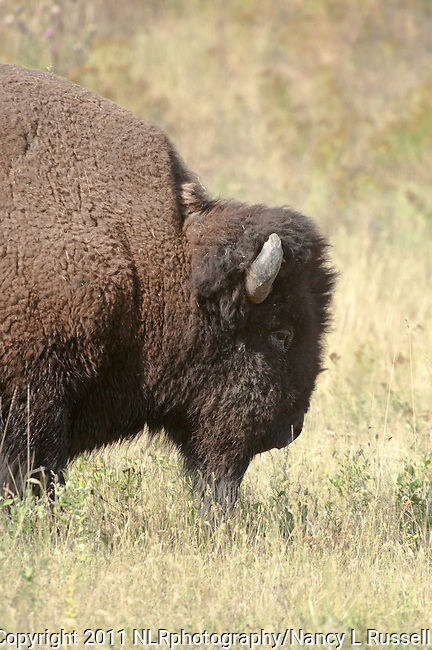 Side profile of a buffalo at the National Bison Range in Montana