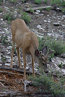 Mule Deer buck seen in velvet on a summer morning in southern Utah,s  Dixie National Forest.