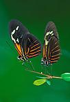 Doris butterfly (Heliconius doris)