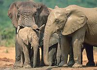 African Elephant (Loxodonta africana), family group, Addo Elephant National Park, South Africa, Africa