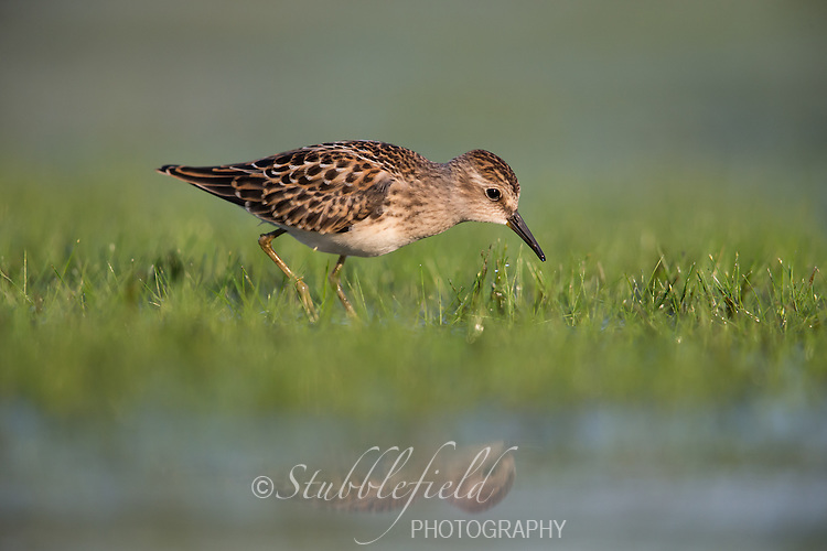 Least Sandpiper (Calidris minutilla), juvenile foraging on the East Pond at Jamaica Bay Wildlife Refuge in New York City, New York.