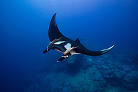 A Giant Manta, Manta birostris, glides above a rocky ridge at Cabo Pierce, Soccoro Island,  Revillagigedos, Mexico