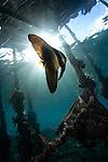 Juvenile longfin batfish or spadefish, Platax teira, under Arborek Pier, Raja Ampat, West Papua, Indonesia, Pacific Ocean