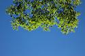 Ash Tree {Fraxinus excelsior} branches, Derbyshire, UK. July.