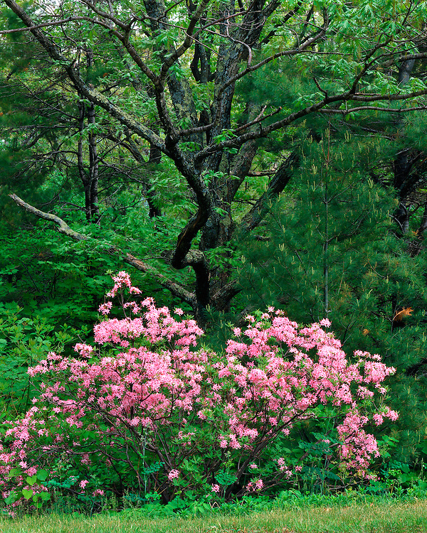 Mountain Azalea (Rhododendron canescens) in bloom on Skyline Drive; Shenandoah National Park, VA