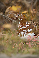 Willow Ptarmigan in Autumn color phase plumage foraging for food and gravel at Denali National Park in the Interior region of Alaska.