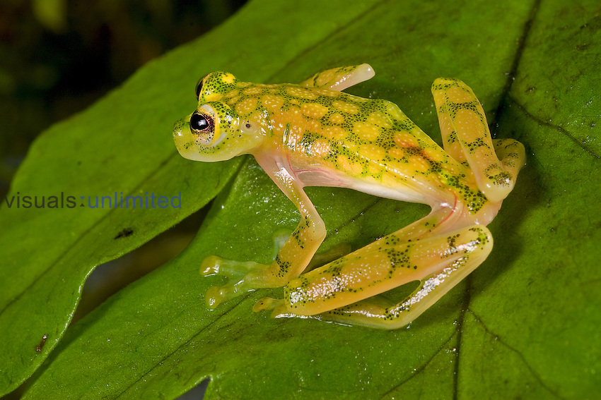 Reticulated Glass Frog (Hyalinobatrachium valerioi), Costa Rica.