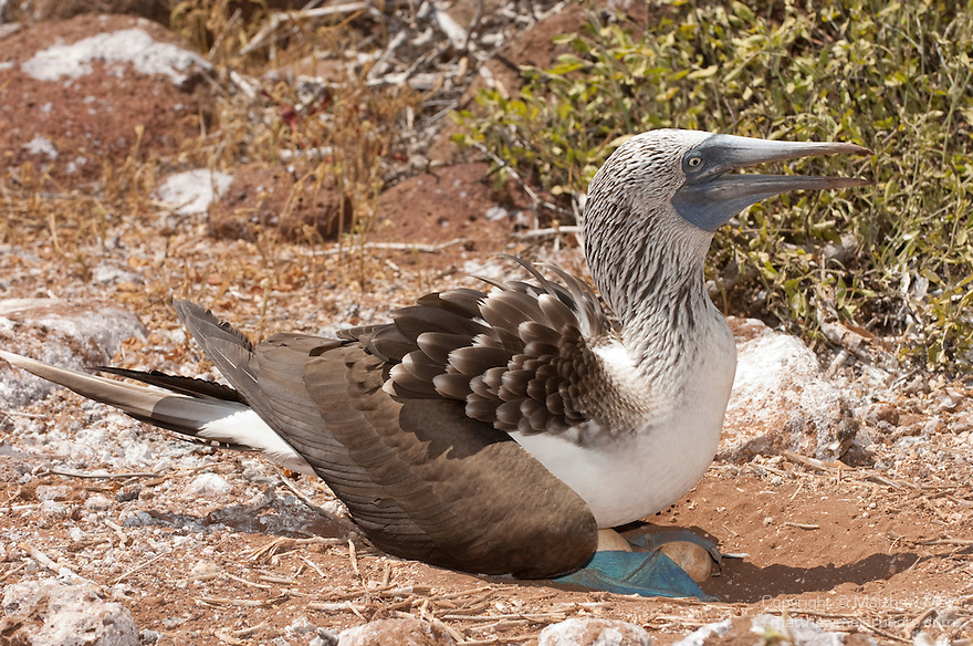North Seymour Island, Galapagos, Ecuador; a Blue-footed Booby (Sula nebouxii) bird incubating eggs in it's nest, both male and female take turns with the eggs, using their feet to keep the eggs warm or rising up above the eggs to shade them and keep them from getting too warm , Copyright © Matthew Meier, matthewmeierphoto.com All Rights Reserved