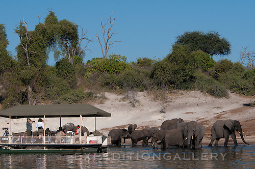 River boats are used to observe elephant families drinking along the Chobe River, Botswana.