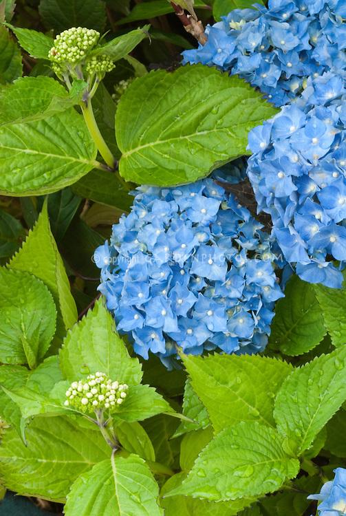 Blue flowers of summer blooming shrub mophead Hydrangea macrophylla 'Europa'