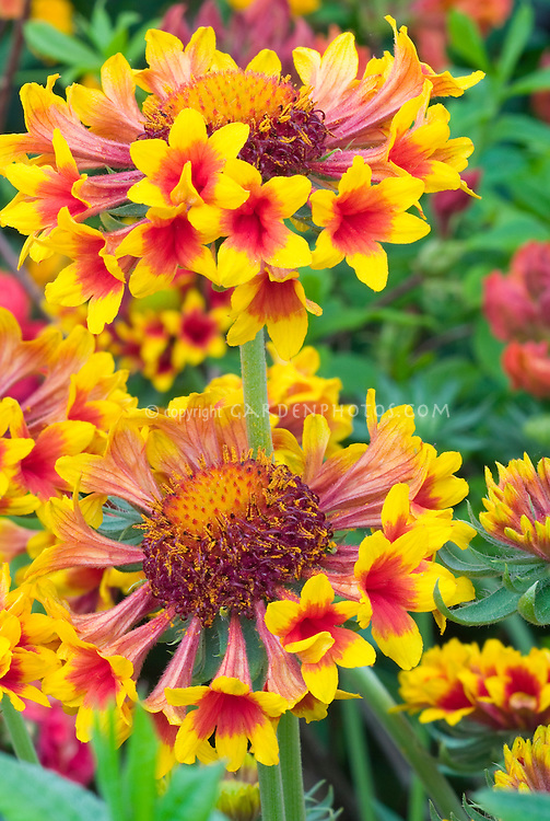Gaillardia Gaillardia Gallo™ Yellow Trumpet fluted flowers orange and red . Blanket Flower