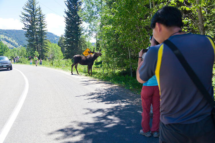 Grand Teton National Park, Wyoming. A large, male Moose stops traffic in Grand Teton national Park, USA
